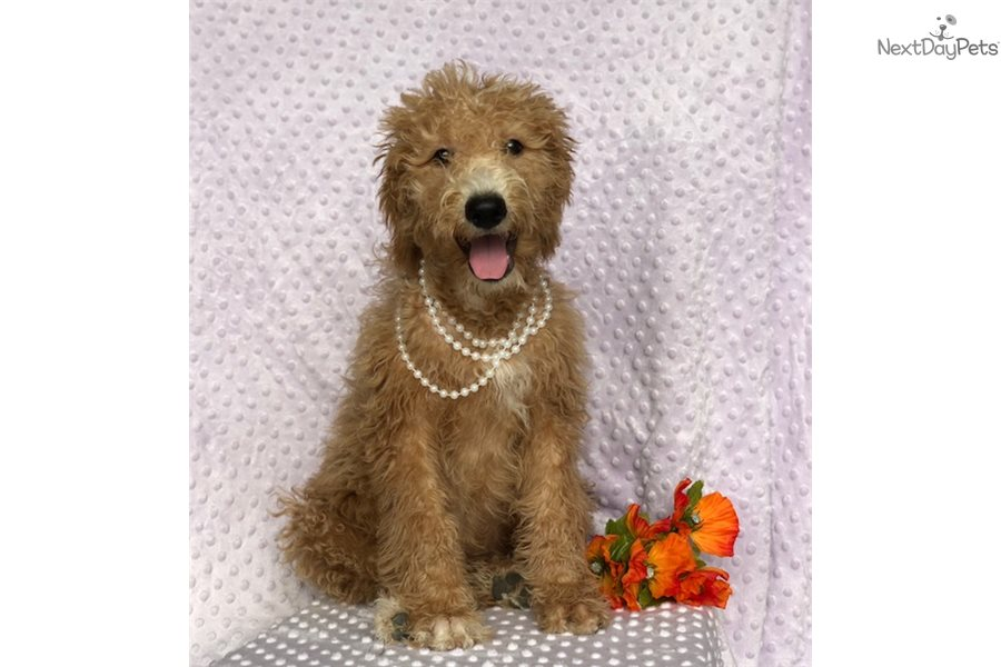 Double Doodle Puppies for Sale from Reputable Dog Breeders