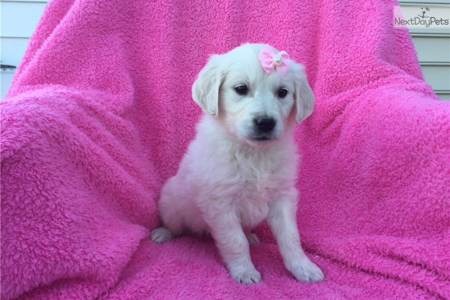 English Golden Retriever Puppies for Sale from Reputable Dog