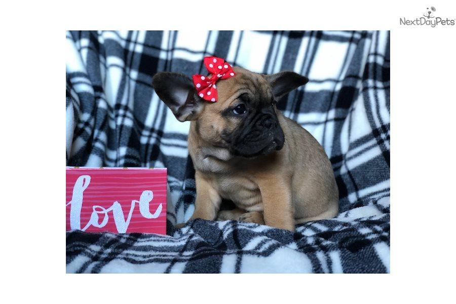 Dawn French Bulldog Puppy For Sale Near Lancaster Pennsylvania