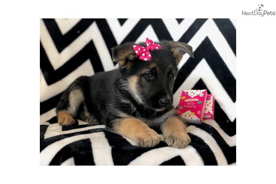 Romania: German Shepherd puppy for sale in Romania