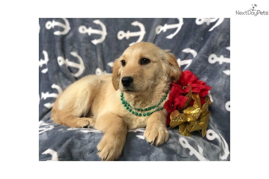 Indiana Golden Retriever Puppy For Sale Near Lancaster