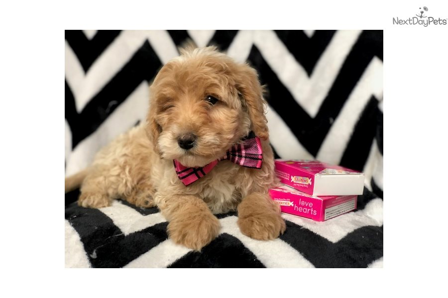 Tennis Goldendoodle Puppy For Sale Near Lancaster