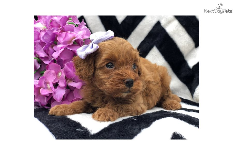 Kate: Goldendoodle puppy for sale near Lancaster