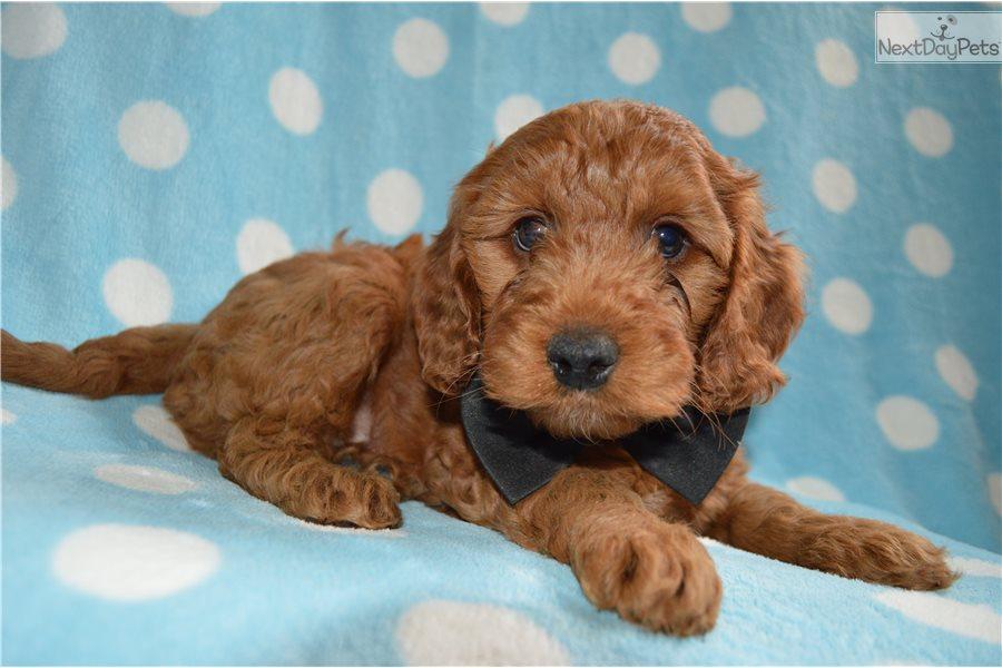 Joe: Irishdoodle puppy for sale near Lancaster