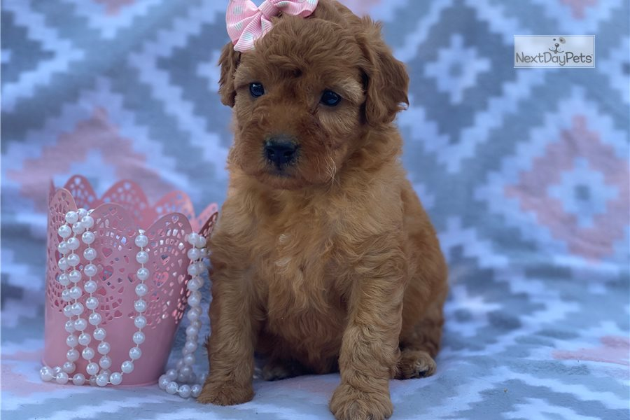 Picture of a Mini Goldendoodle