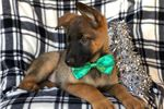 Picture of Perry (German Shepherd Malinios)