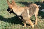 Picture of Shooter (German Shepherd Malinois Mix)