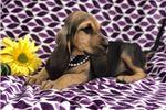 Picture of Lola (Black/Tan)