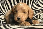 Picture of a Double Doodle Puppy
