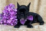 Picture of Elsa (3/4 French Bulldog mix)