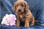 Cockapoo for sale