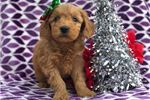 Norfolk Terrier for sale