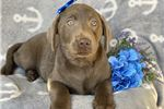 Labrador Retriever Puppies For Sale From Rockford