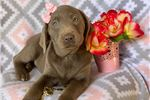 Labrador Retriever Puppies For Sale From Madison