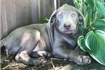 Picture of Dozer (Silver)