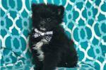 Pomeranian for sale