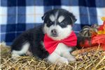 Pomsky for sale