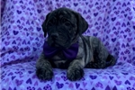 Picture of a Presa Canario Puppy
