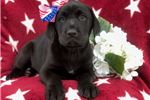 Picture of Betsy (Presa/Lab Mix)