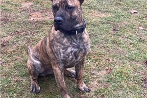 Rugar | Puppy at 18 months of age for sale
