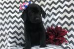 Picture of Jubilee (Presa/Lab Mix)