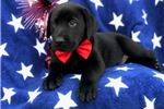 Picture of Kennedy (Presa/Lab Mix)