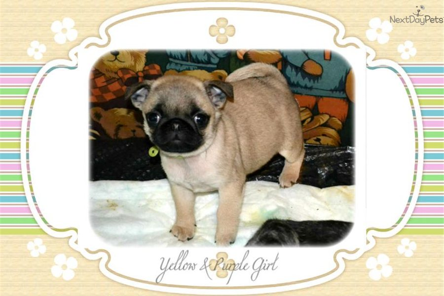 pug for sale seattle pug for sale for 1 350 near seattle tacoma washington 9565