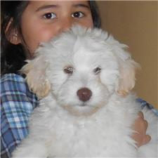 View full profile for Cherry Blossom Goldendoodles