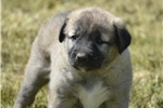 International Champion Blood Lines | Puppy at 47 weeks of age for sale