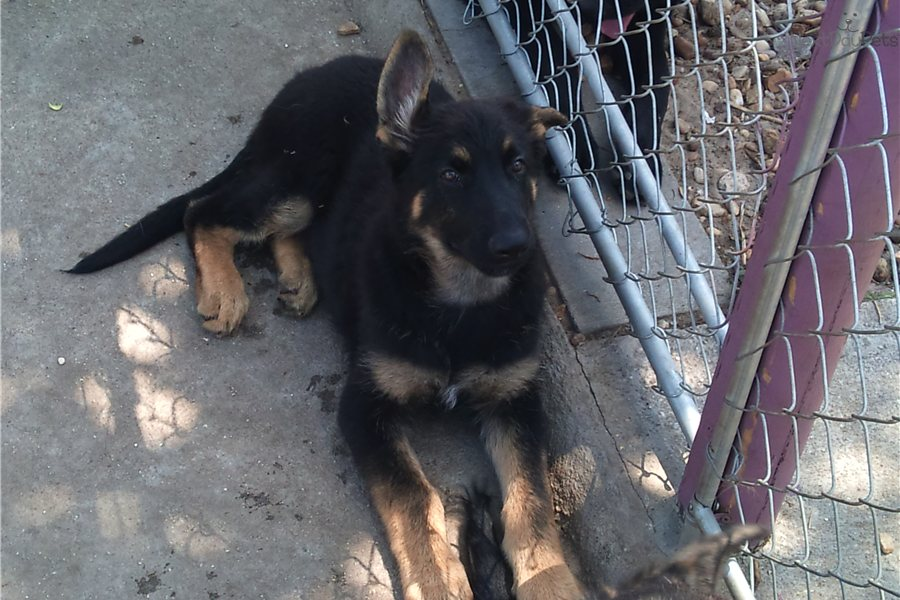 bay area german shepherd german shepherd puppy for sale near ta bay area 402