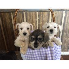 View full profile for Nature's Haven Schnauzers