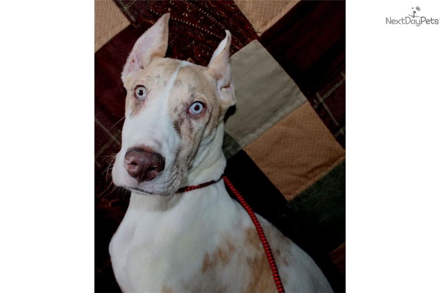 Jorja Great Dane Puppy For Sale Near Lake Of The Ozarks Missouri