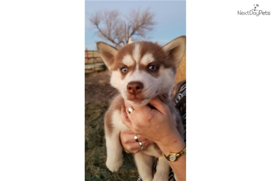 Siberian Husky puppy for sale near Amarillo, Texas | 196612ee-e881