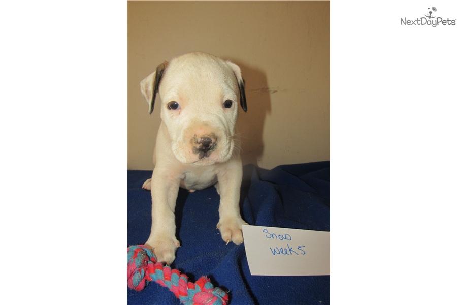 Snow: American Bulldog puppy for sale near Columbus, Georgia