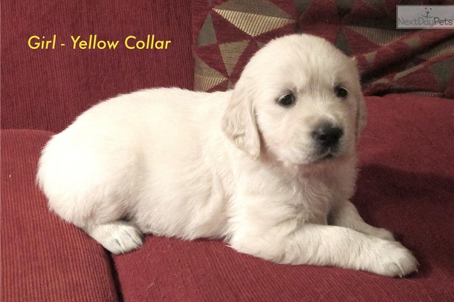 Female Golden Retriever Puppy For Sale Near Denver Colorado