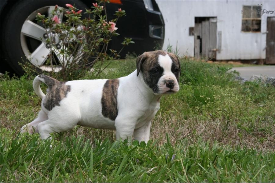 american bulldog price range dogs and puppies for sale and adoption oodle marketplace 9346
