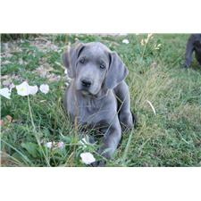 View full profile for Hoosier Blue Danes