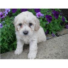 View full profile for Countryside Puppies