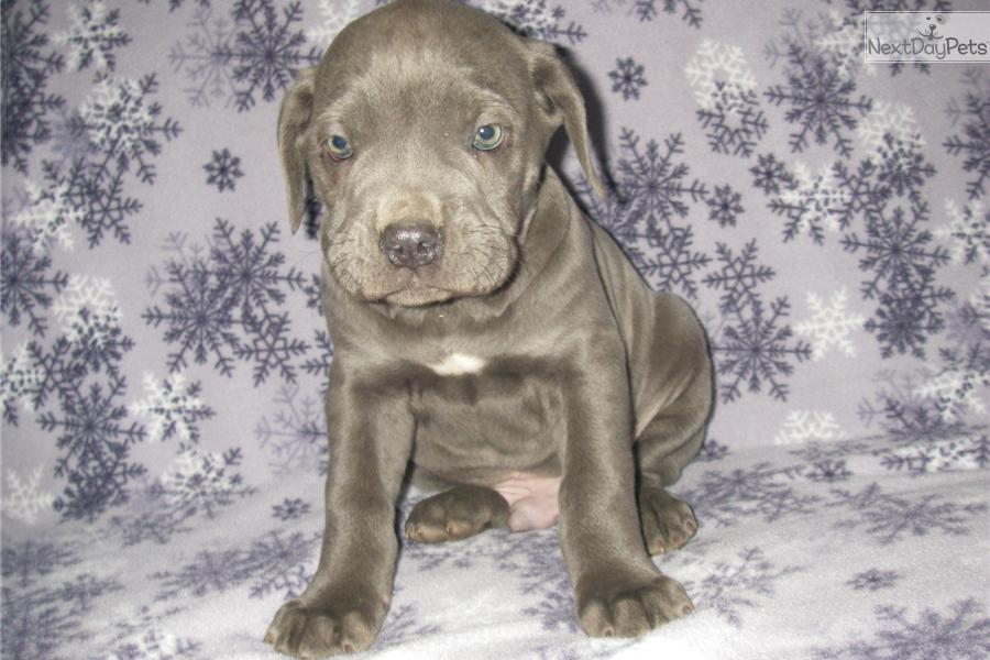 Dogs and Puppies for Sale and Adoption | Oodle Marketplace  Grey