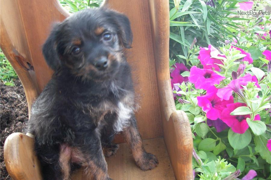 Foodle Puppy For Sale Near Lancaster Pennsylvania