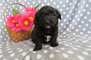 Kenny | Puppy at 13 weeks of age for sale