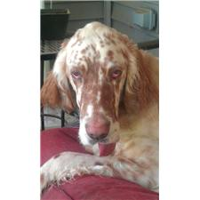 View full profile for Quick Silver English Setters