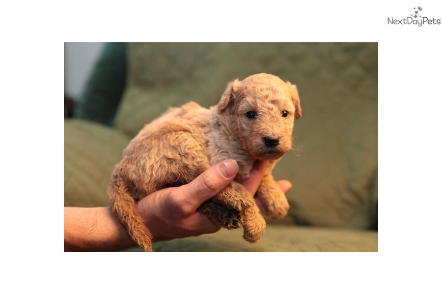 Jolly Goldendoodle Puppy For Sale Near Chicago Illinois 075dd87e