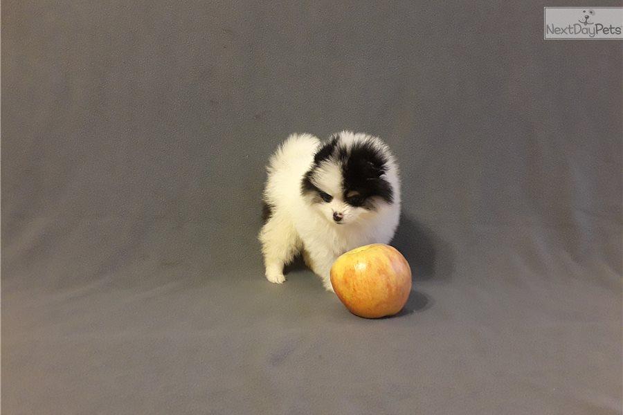 Pomeranian Puppies For Sale West Palm Beach