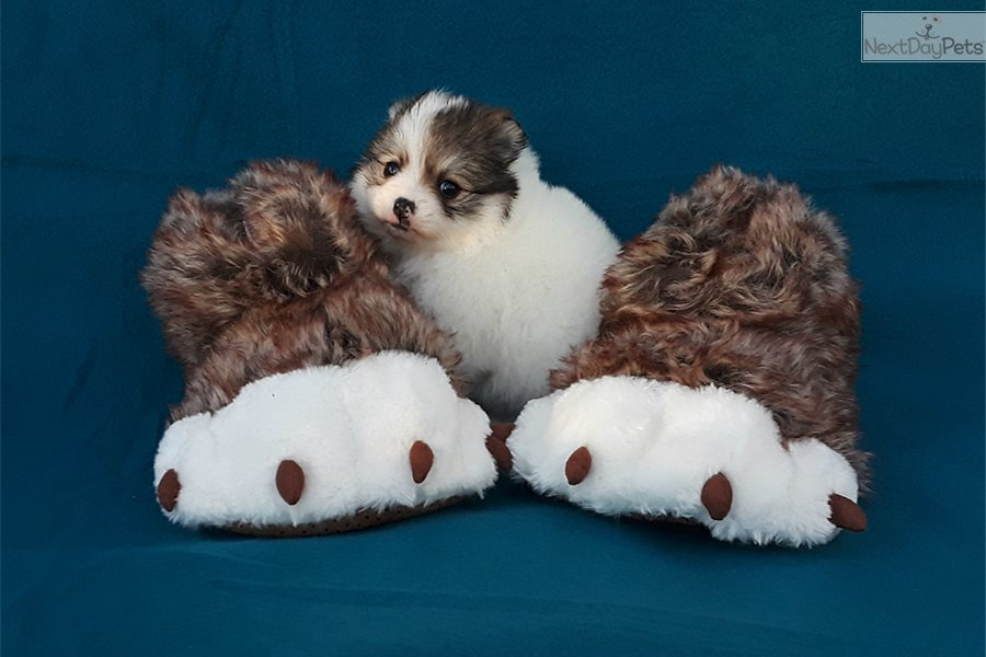 Teacup Doll: Pomeranian puppy for sale near West Palm Beach, Florida