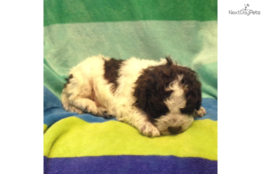Lagotto Romagnolo puppy for sale near Binghamton, New York