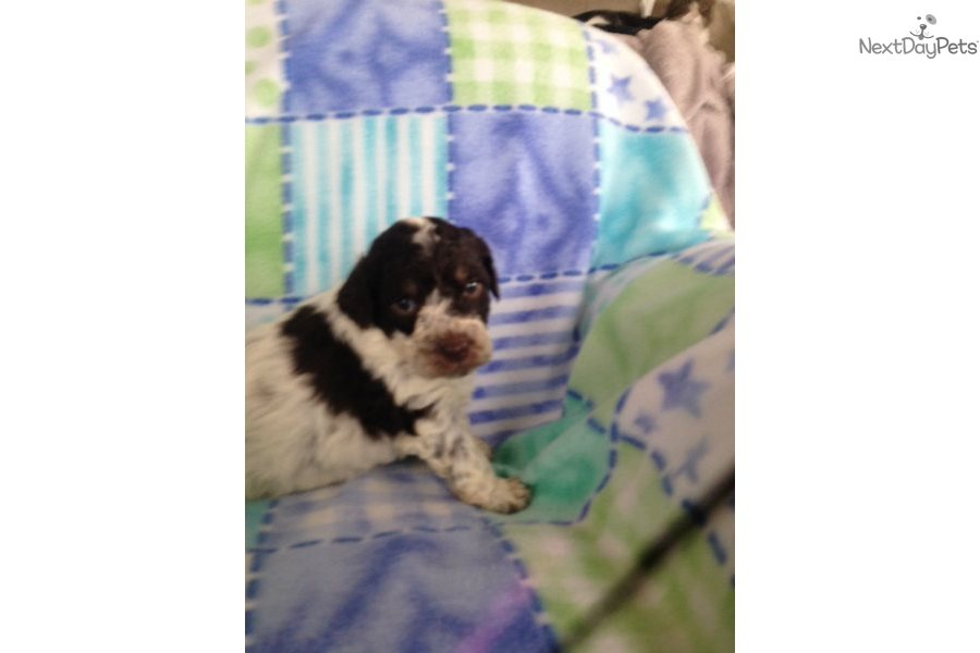 Maia: Lagotto Romagnolo puppy for sale near Binghamton, New York