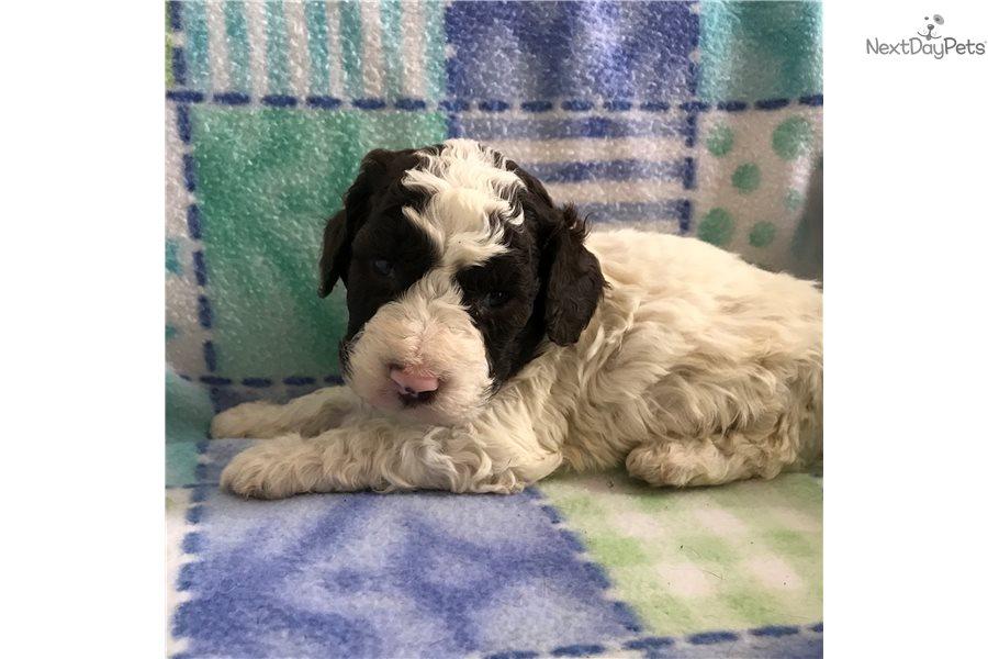 Nick: Lagotto Romagnolo puppy for sale near Binghamton, New