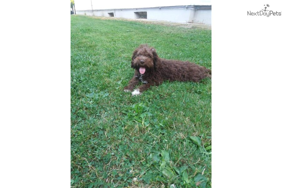 Francesca Lagotto Romagnolo Puppy For Sale Near
