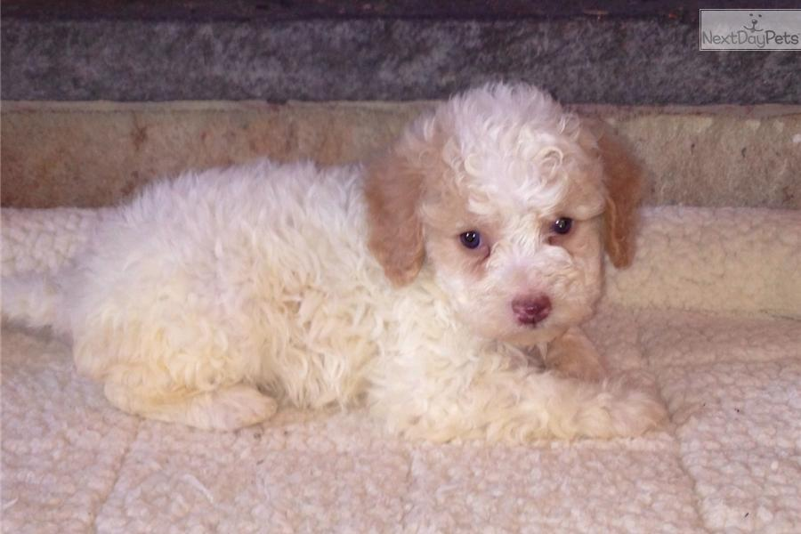 Meet Rose A Cute Lagotto Romagnolo Puppy For Sale For